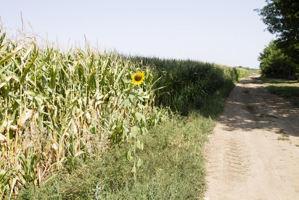 A kukorica helyén hamarosan BMW-gyár áll majd
